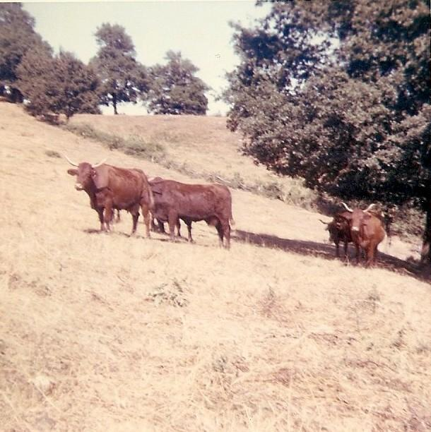 Vaches 2
